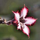 IMPALA LILY (Indigenous species) Adenium multiflorum by Magaret Meintjes