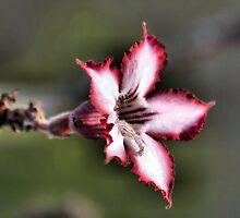 IMPALA LILY (Indigenous species) Adenium multiflorum by Magriet Meintjes