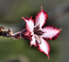IMPALA LILY (Indigenous species) Adenium multiflorum by Magriet Meintjes