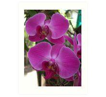 Purple & White Orchids Art Print