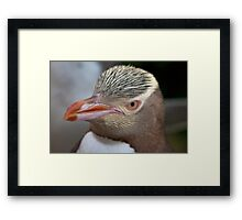 Adult Yellow-eyed Penguin Framed Print