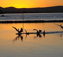 Orange Pelicans Feeding on River Mullet by Martice