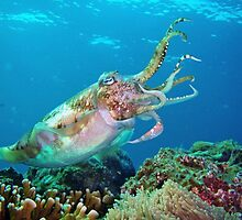 Cuttlefish by Christopher Hamilton Lansell