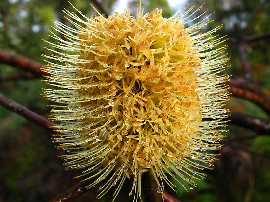 Yellow Bottle Brush by Judy O'Neil