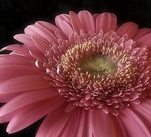 Pink Beauty by Sue Wickham