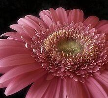 Pink Beauty by Sue Wickham
