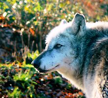 Wolf by AngelaFoster
