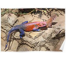 East African Rainbow Agama, Mating Poster