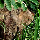 Malaysian Pygmy Elephant by Photography by Mathilde
