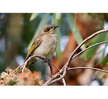 "Brown Honeyeater ~ Just another ""little brown bird""   Photographic Print"