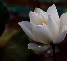 The White Beauty by Steven  Siow