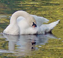 Reflection Of A Preening Swan by AARDVARK