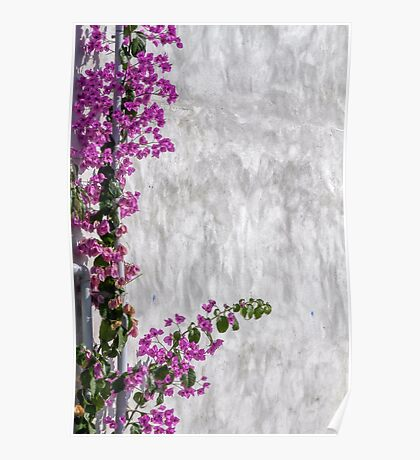 bougainvillea on wall as texture Poster