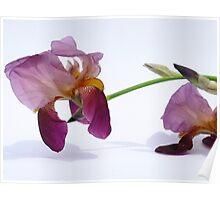 A Beautiful Iris Poster