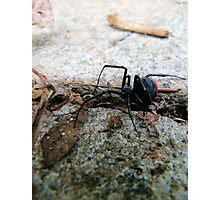 Creepy Crawly Red Back Spider Photographic Print