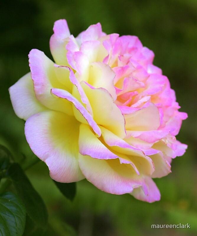 Pink Rose by maureenclark