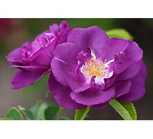 'Rhapsody In Blue' Rose Photographic Print