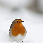 Robin braving the morning snow, The Rower, County Kilkenny, Ireland by Andrew Jones