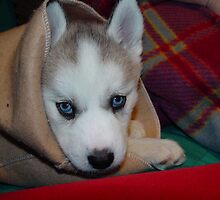 Kozen in da Blanky Husky babe (she died yesterday she was 8 years old by RealPainter