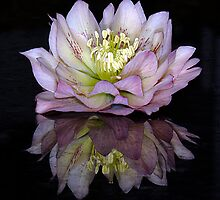 Reflect on Hellebores by Jacky Parker