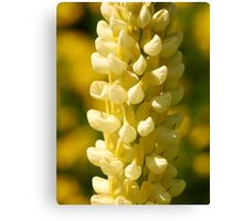 Yellow Lupin Canvas Print