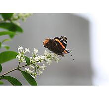 Red Admiral #2 Photographic Print