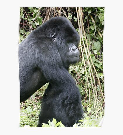 Silverback Gorilla II Poster