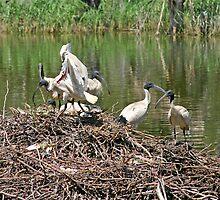 Australian White Ibis ~ The Community Nest by Robert Elliott