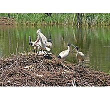 Australian White Ibis ~ The Community Nest Photographic Print