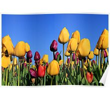 Tulips Galore Poster