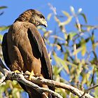 Black Kite by Robert Elliott