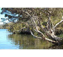 Paperbark on the Blackwood river Photographic Print