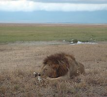 Lion on the Plains by Jewell