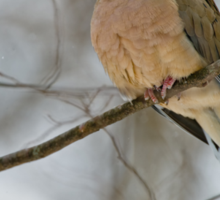 Mourning Dove Sticker