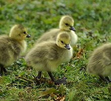 No ugly ducklings here ... by robspics