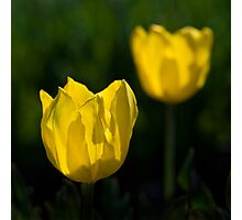 Yellow Tulip Photographic Print