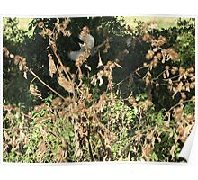Black Cap bird in flight Poster