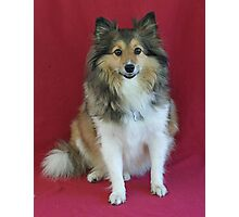 Miss Sheltie Photographic Print
