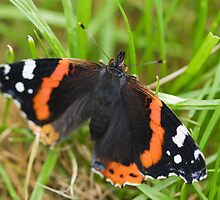 Red Admiral by kernuak