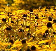 Yellow Daisys by Mark Mitrofaniuk