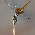 Desert Dragonfly by David Clark