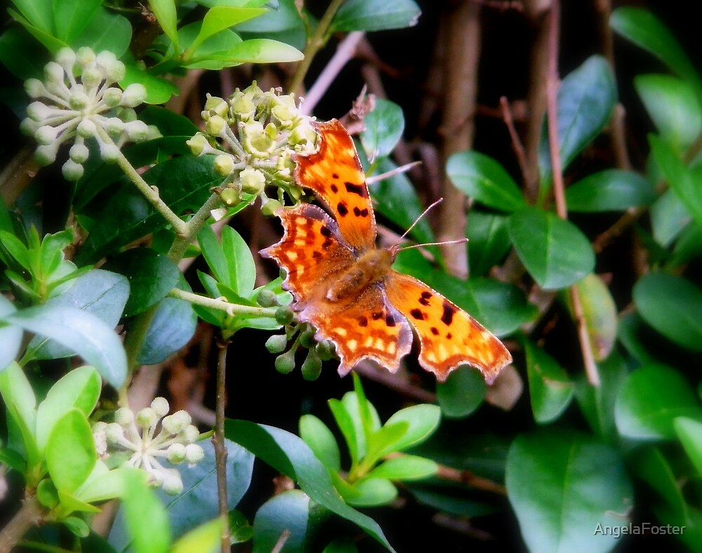 Comma Butterfly by AngelaFoster