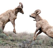 Ram fight by Eivor Kuchta