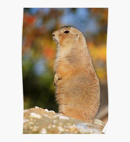 prairie dog in autumn Poster