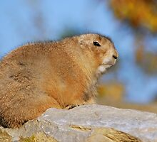 prairie dog in autumn III by mc27