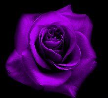 Purple Rose by Tara Johnson