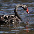 Black Swan by Robert Elliott