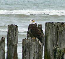 EAGLE AT BIRCH BAY  by MsLiz