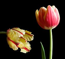 Tulips II by prbimages