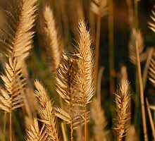 Wild wheat by cendrinet